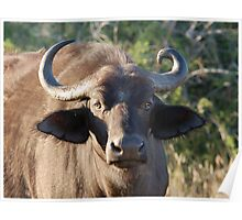 NOBODY IS PERFECT ! The Buffalo - Syncerus caffer (Buffel0 Poster