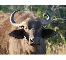 NOBODY IS PERFECT ! The Buffalo - Syncerus caffer (Buffel0 Photographic Print