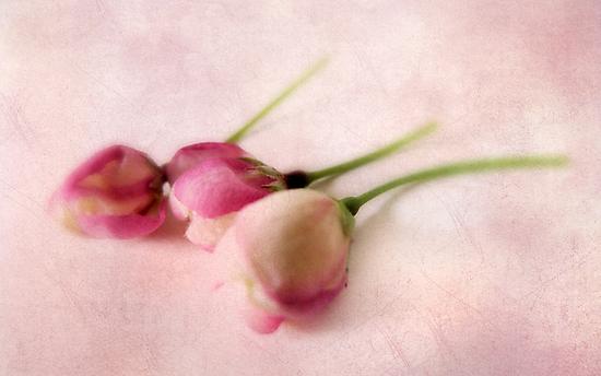 Blushing Blossom by Jessica Jenney