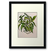 Basil. A pungent and delicious herb. Pen & wash. 21cmx28cm 2012Ⓒ Framed Print