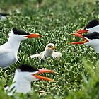 Caspian Terns- In the Middle  by mncphotography