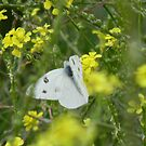 White Butterfly in Bastard Cabbage by Navigator