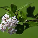 White Lilac by Anthony Roma