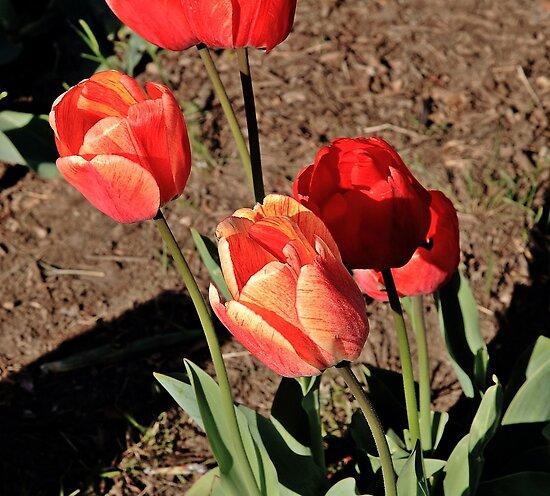 Tulips by pmarella