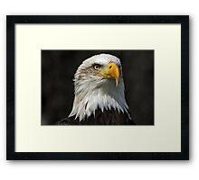 Bald Eagle Gazing Framed Print