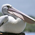 Australian Pelican by Ross Campbell