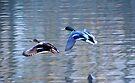 Mallard Ducks Arriving... by Laurie Minor