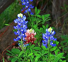Texas State Flower ~Touch of Aggie Maroon by Penny Odom