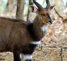YEAH, I KNOW I AM GORGEOUS! THE BUSHBUCK MALE - Tragelaphus scriptus - Bosbok by Magaret Meintjes