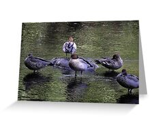 Australian Wood Ducks, Yarra River, Warburton, Victoria Greeting Card