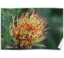 Beaufortia bicolor  Poster