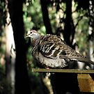 Common Bronzewing by SophiaDeLuna