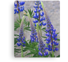 Shimmering Lupin Light Nr 2 Canvas Print