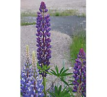 Shimmering Lupin Light Nr 3 Photographic Print