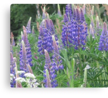 Shimmering Lupin Light Nr 5 Canvas Print