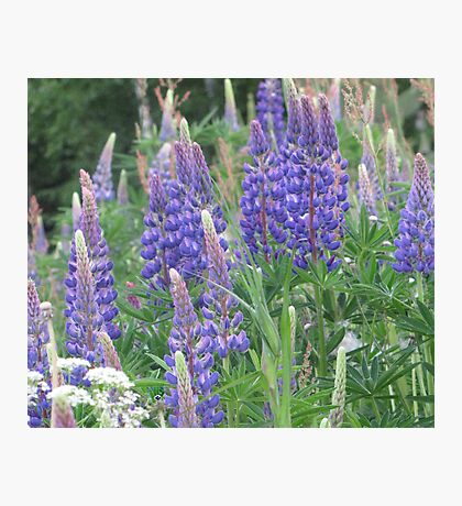 Shimmering Lupin Light Nr 5 Photographic Print
