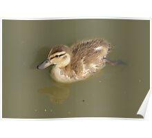 Mallard Duck Duckling Poster