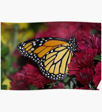 Monarch Butterfly on Red Mums Poster