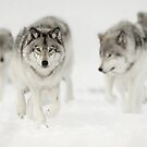 Timber Wolf Pack by Bill Maynard
