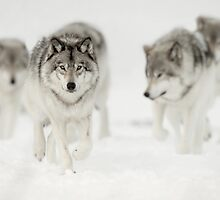 Timber Wolf Pack by Bill Maynard