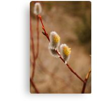Goat Willow Canvas Print