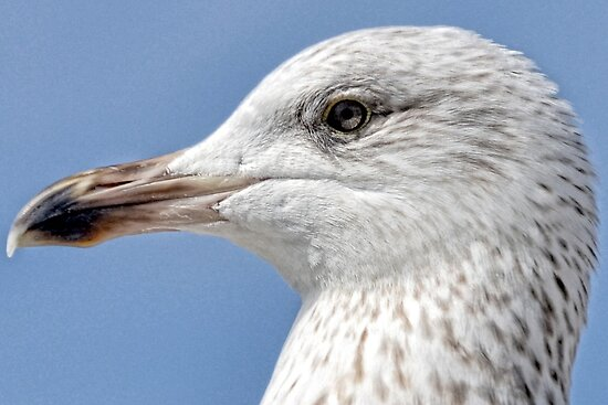 Young Gull by lynn carter