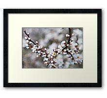 Beautiful blackthorn blossom Framed Print