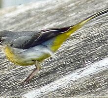 Yellow Wagtail by lynn carter