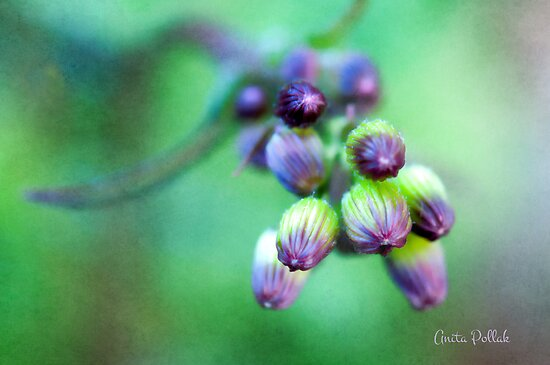 Soft Focus Ragwort Buds by Anita Pollak