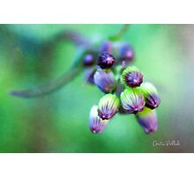 Soft Focus Ragwort Buds Photographic Print