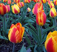 Plethora of Tulips by G.T.S Photos