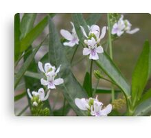 American Water Willow Blooms Canvas Print