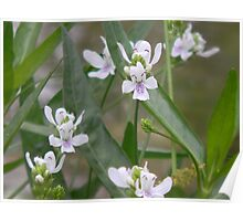 American Water Willow Blooms Poster