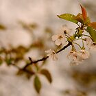 Wild Cherry Blossom by jonshort58