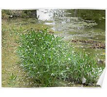 American Water Willow Growing in Walnut Creek Poster