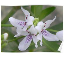 Blooming American Water Willow Poster
