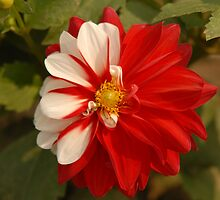 Red and White Flower by Christian Eccleston