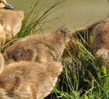 Canada Goose Goslings Sticker