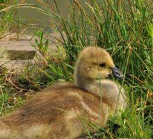 Canada Goose Gosling Sticker