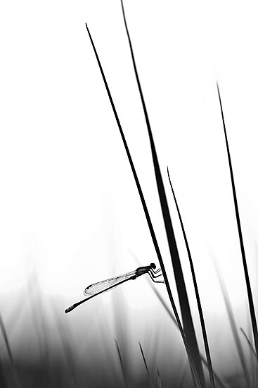 Dragon Fly- BW  by Nina  Matthews Photography