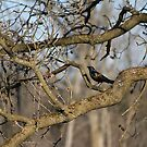 The Common Grackle by NewfieKeith