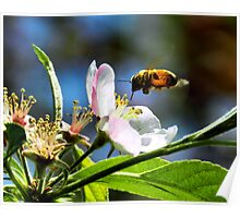 Apple Blossom & Honey Bee Poster