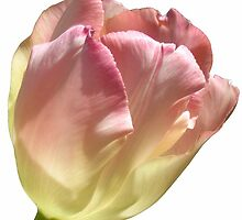 Tulip on White Vertical Card Crop by Ron Russell