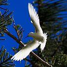 White ( Fairy ) Tern  Lorde Howe Island by john  Lenagan