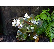 Begonia Photographic Print