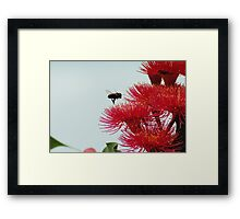 Bee flying to a Red-Flowering Gum Framed Print
