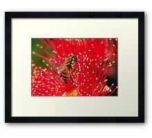 Bee sitting on a red-flowering gum Framed Print