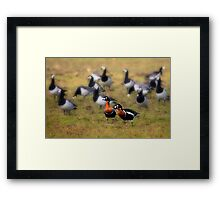 Red-breasted Geese Framed Print