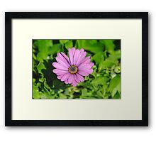 Purple Daisy Framed Print