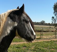 Minstrel - Gypsy Cob stallion by louisegreen